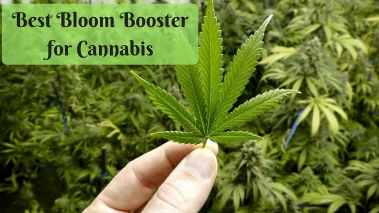 Best Natural Nutrients For Cannabis