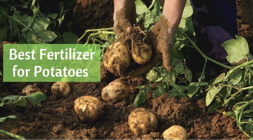 best fertilizers for potatoes