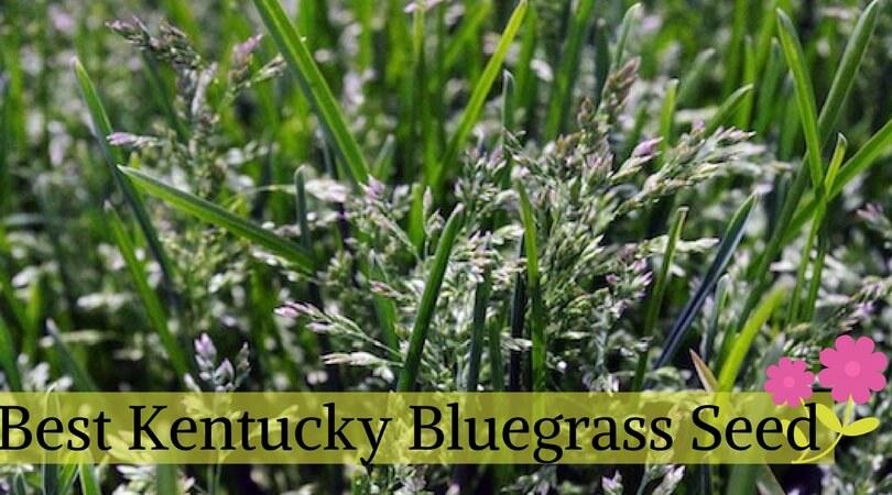 Best Kentucky Bluegrass Seed