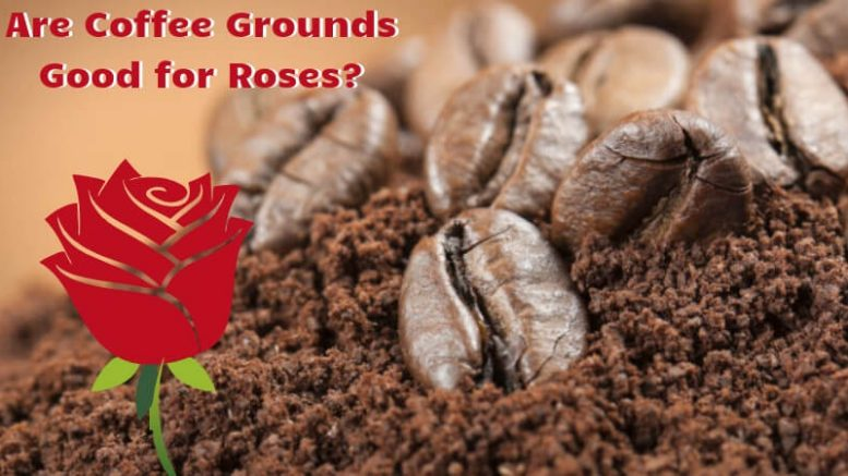 Are Coffee Grounds Good for Roses_