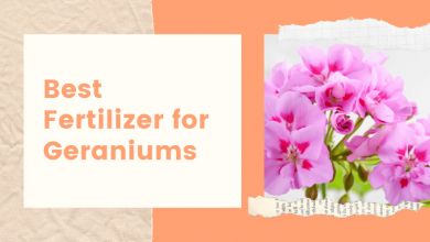 Best Fertilizer for Geraniums
