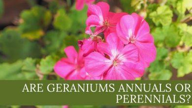 Are geraniums annuals or perennials_