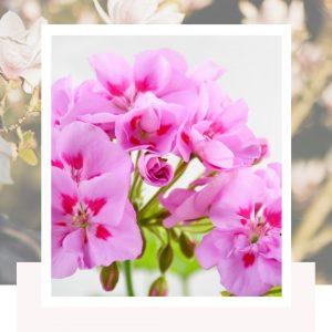 Are geraniums annuals or perennials