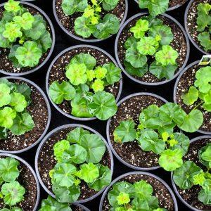 best season for growing geraniums