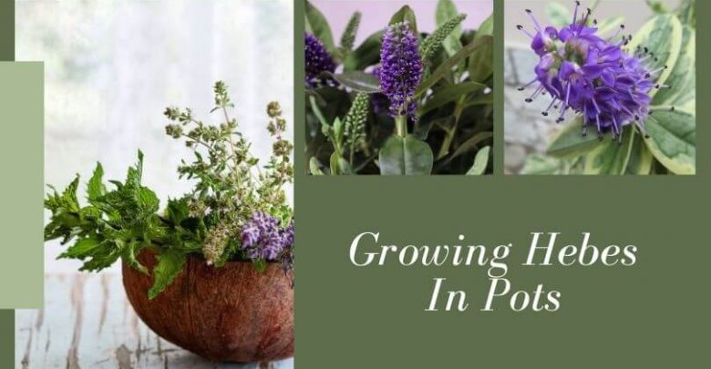 Growing Hebes In Pots