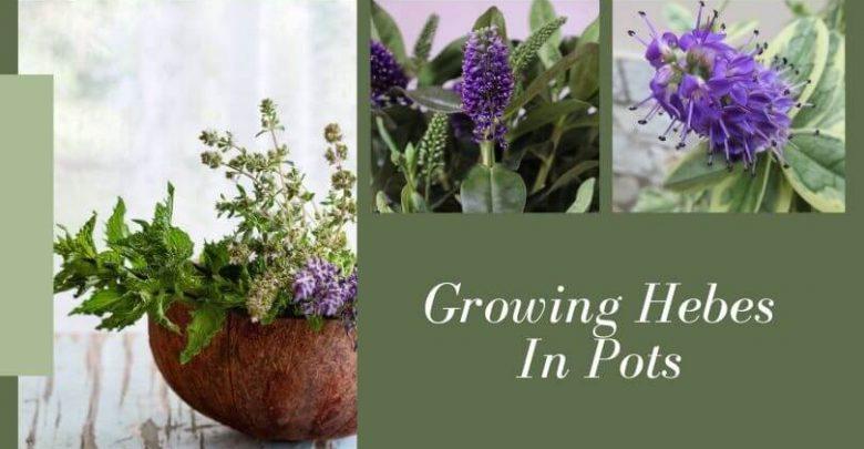 Growing Hebes In Pots