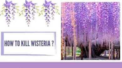 How To Kill Wisteria