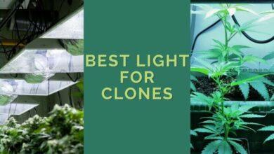 Best Light For Clones