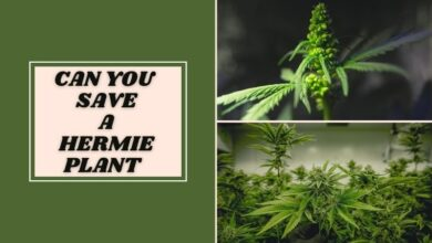 Can You Save A Hermie Plant