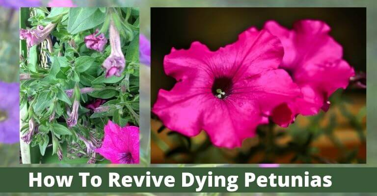 How To Revive Dying Petunias