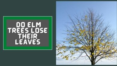 Do Elm Trees Lose Their leaves